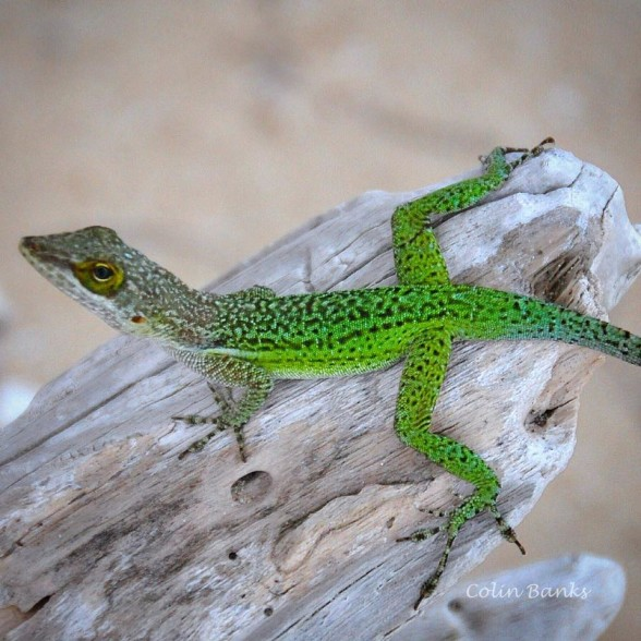 Lizard in Antigua by Colin Banks